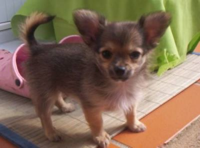 chiots chihuahua disponible a donner