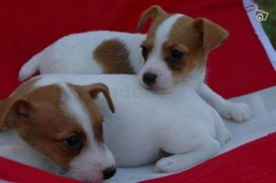 adorables chiots de race jack russell disponibles
