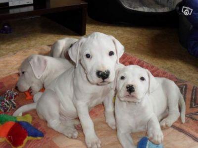 Donne Gratuitement Chiots Dogue Argentin