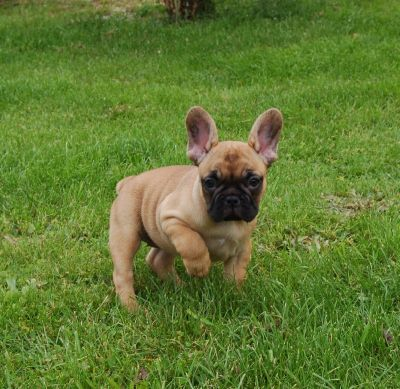 Impecable chiots bouledogue francais disponible