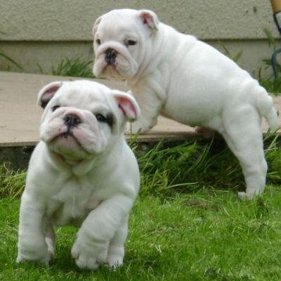 2 Magnifiques Chiots Bulldog Anglais 1 Male 1 Femelles A Donner