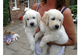 Chiots adorables Golden Retriever