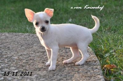Chien Type Chihuahua A Donner