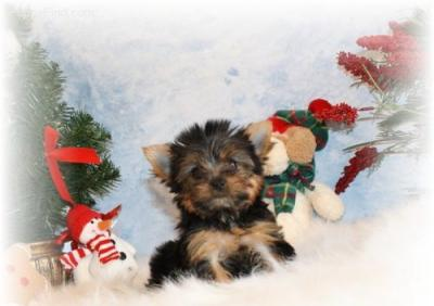 adorable chiot yorkie a vendre