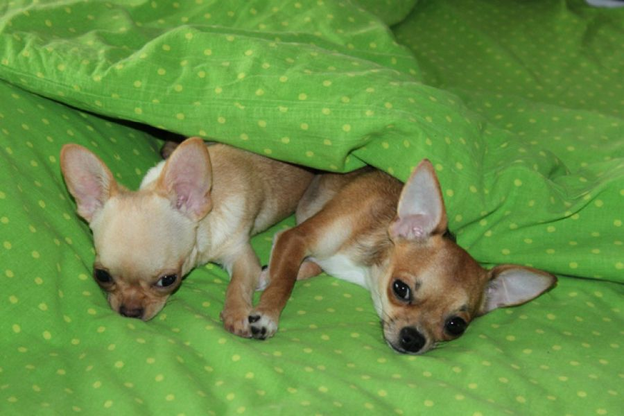 Couple de chiots chihuahuas
