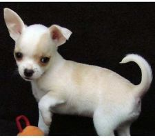 Magnifique type chiot chihuahua - pure race