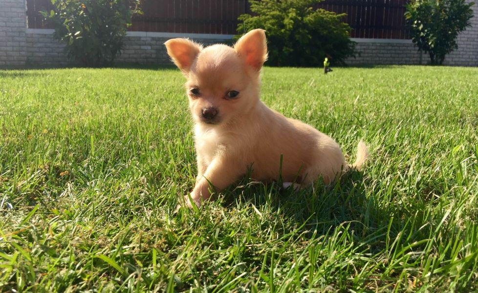 Chiot Chihuahua A Donner Pour Noel