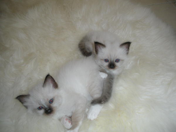 .Adorable chatons Sacre de Birmanie a donner pour adoption‏