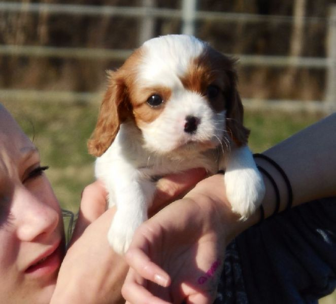 Chiots femelle type cavalier king charles à donner