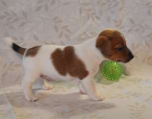 A donner : Chiot type Jack Russel mâle