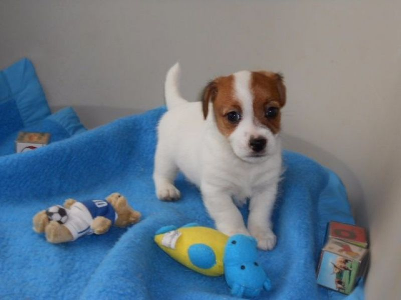 A Donner Chiot Type Jack Russell Femelle