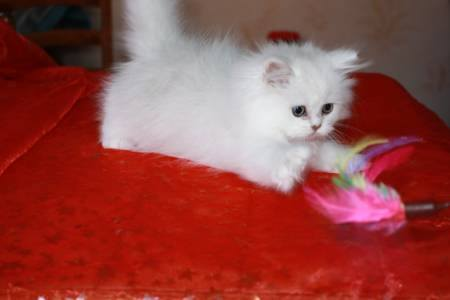 A Donner petit chaton type persan chinchilla
