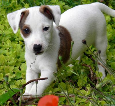Chiots type Jack Russell pour adoption.