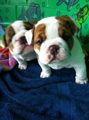 Adorable chiots type bulldog anglais disponibles .