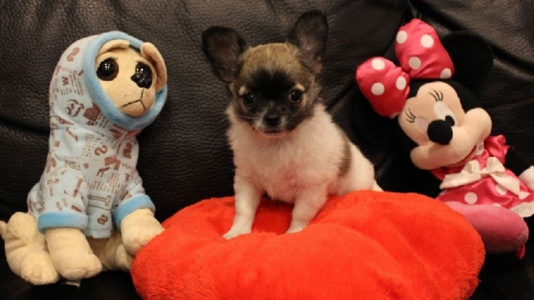 Chiot type chihuahua femelle A DONNER