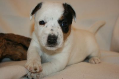 Chien Type Jack Russel A Donner