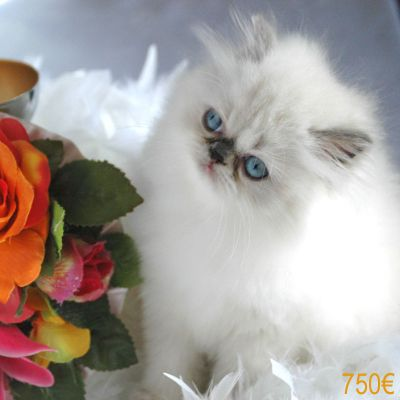 Superbes Chatons Persan LOOF