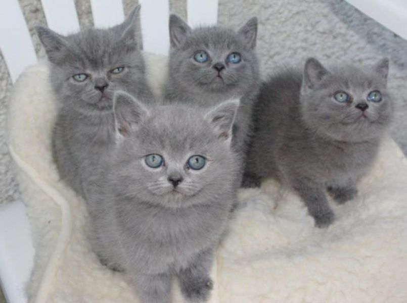 Chaton British Shorthair