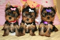 Chiots type yorkshire terrier  loof