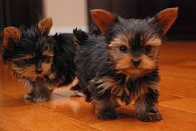 Registered Yorkie Puppies for Adoption (402)264-6345)